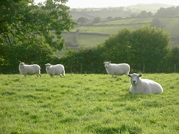 White sheep in the sun.