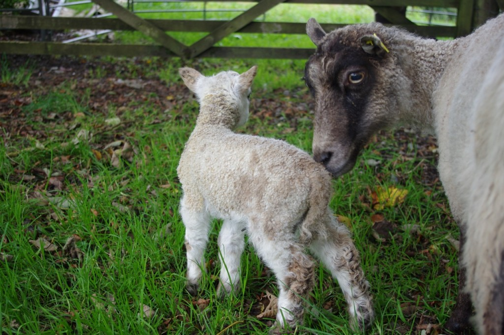 New addition to the flock, Miracle Mike - a Shetland x Ryeland surprise lamb.
